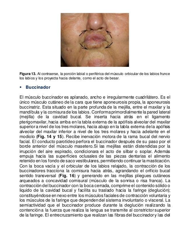 Asombroso Anatomía Del Labio Colección de Imágenes - Imágenes de ...