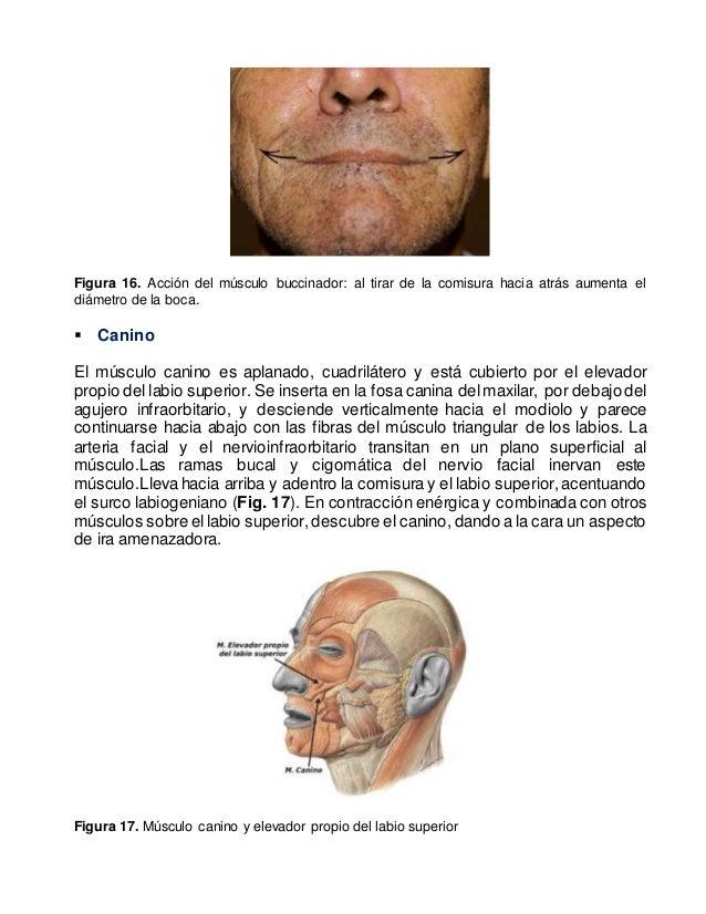 ANATOMIA DE LOS LABIOS Y DE LA REGION PERIORAL