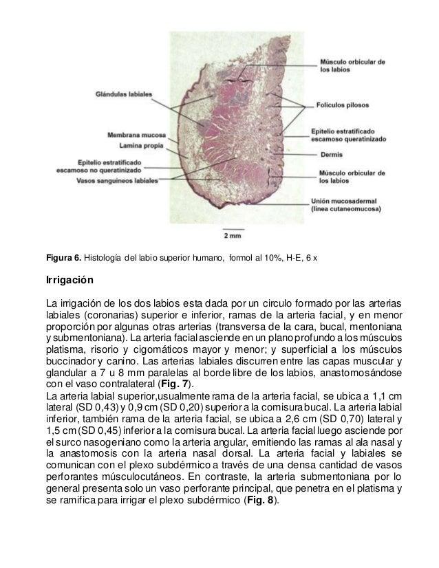 Increíble Anatomía Del Labio Bandera - Imágenes de Anatomía Humana ...