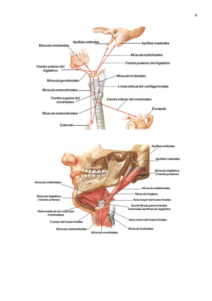 Los músculos de la garganta de la lengua y la cabeza - MUSCULOS ...