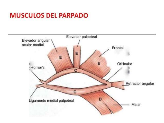 Anatomia de los parpados
