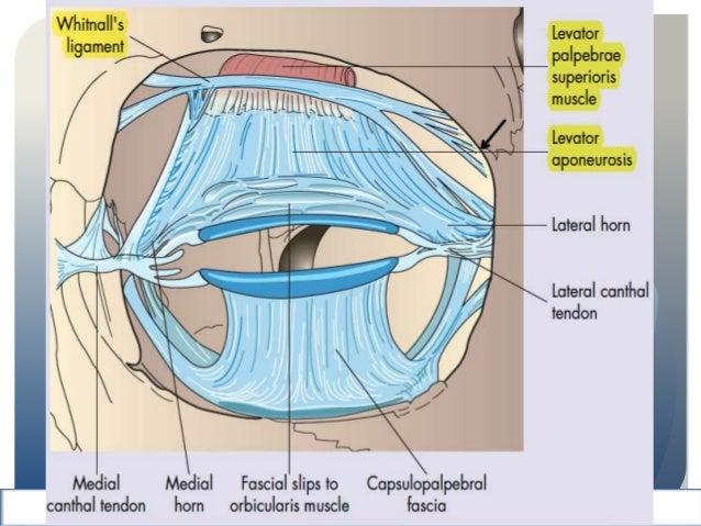 Anatomia del parpado