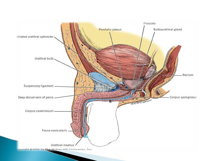 fisonomía del pene