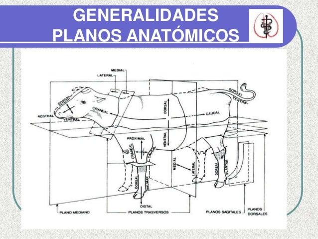 Anatomia del pie bovino ft