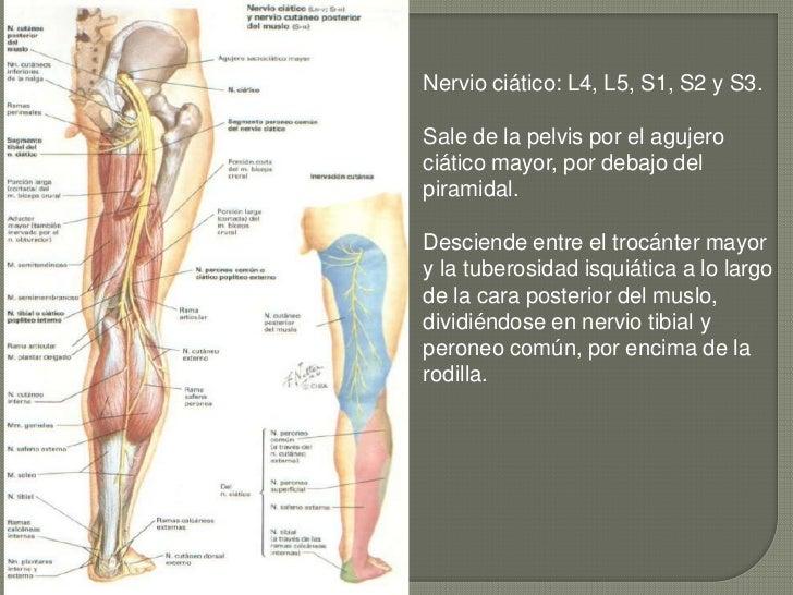 Atractivo Anatomía Del Nervio Ciático Bosquejo - Anatomía de Las ...