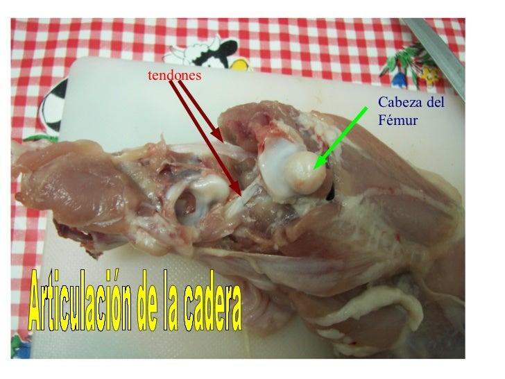 Anatomia del pollo