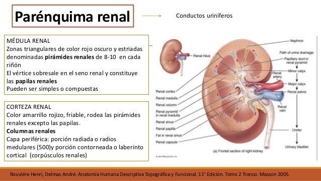 Anatomia del riñón