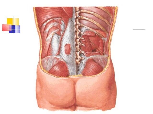 Anatomía del riñón y vías urinarias.
