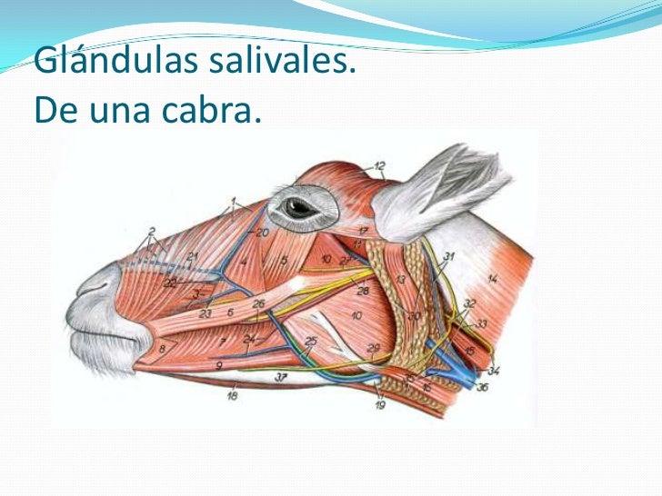 Anatomia del sistema digestivo de poligastricos