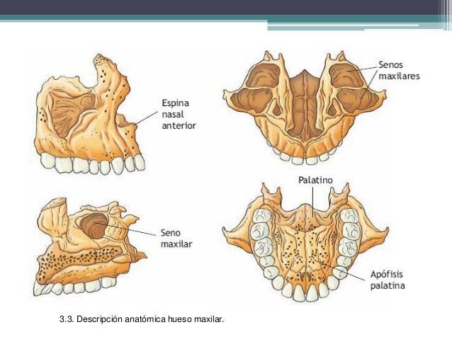 Anatomia del sistema estomatognatico