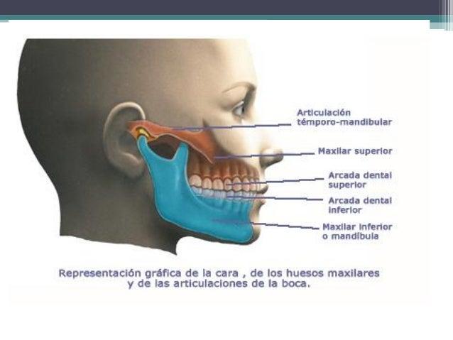 Anatomia del sistema estomatognatico Marcela Barco