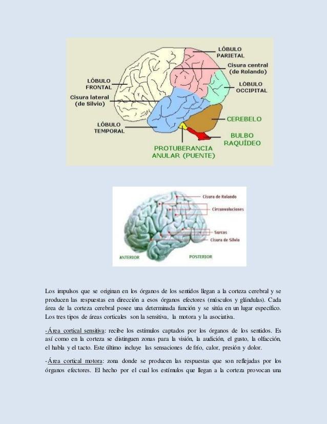 Anatomia del sistema nervioso.daltherramos