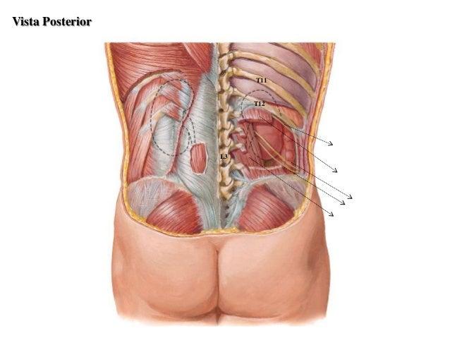 Anatomia del sistema urinario y genitales masculinos