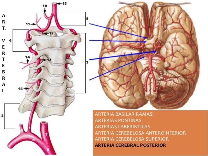 Hermosa Anatomía De La Arteria Basilar Bosquejo - Anatomía de Las ...