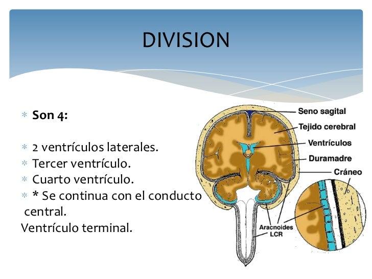 Anatomia del sistema ventricular e irrigacion sanguinea del cerebro
