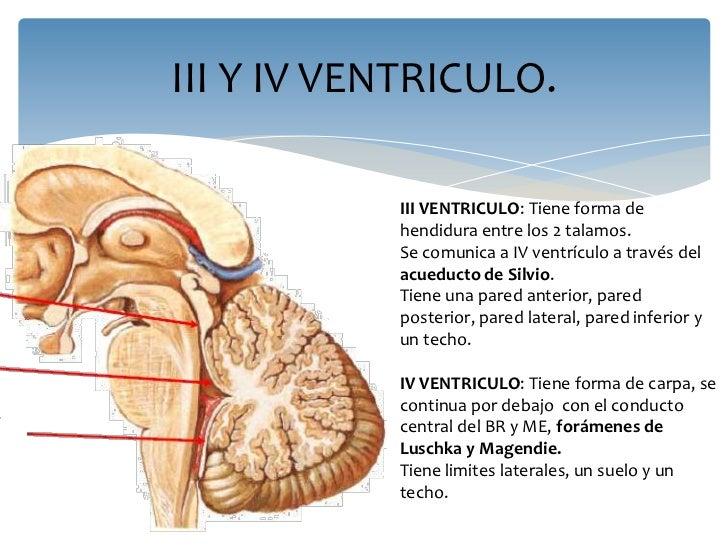 Anatomia del sistema ventricular e irrigacion sanguinea for Definicion de cuarto