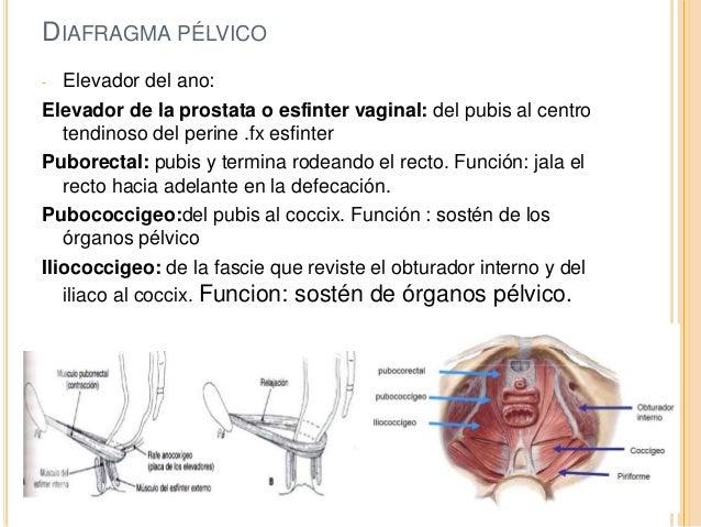 Anatomía del suelo pélvico