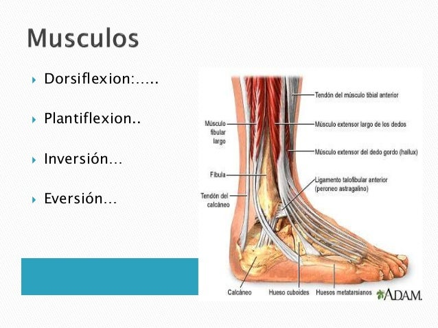 Anatomia del tobillo