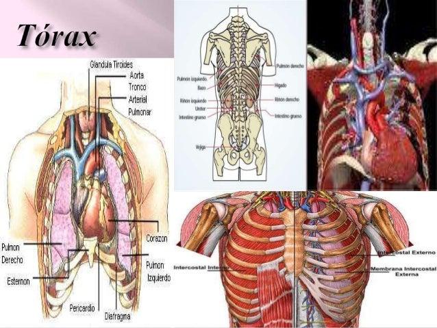 Anatomia del torax