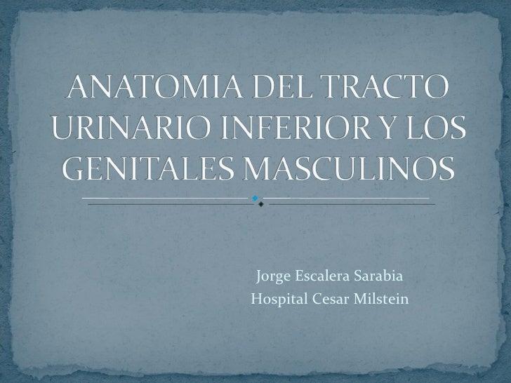 Anatomia del tracto urinario inferior y los genitales