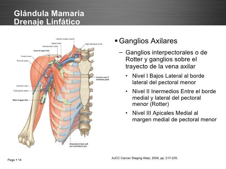 Moderno Anatomía De Los Ganglios Linfáticos Axilares Modelo ...