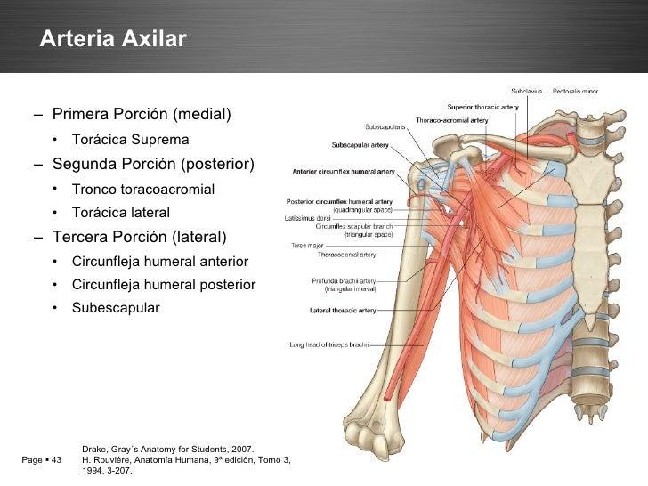 Anatomía de la máma