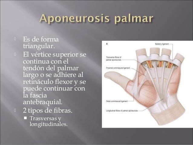 Anatomia de mano