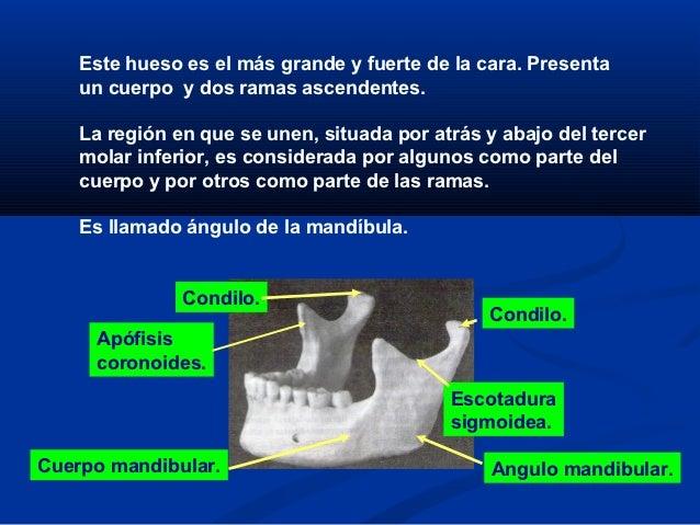 Anatomia de maxilares nuevo