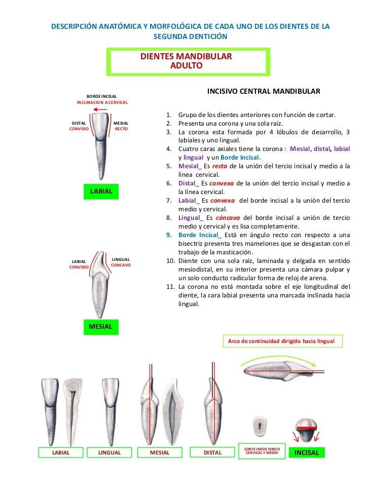 DESCRIPCIÓN ANATÓMICA Y MORFOLÓGICA DE CADA UNO DE LOS DIENTES DE LA                         SEGUNDA DENTICIÓN            ...