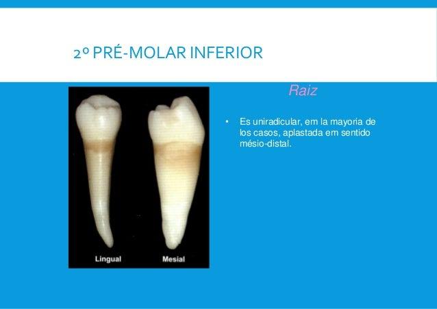 Anatomia dental. 2 Premolar Sup y Inf