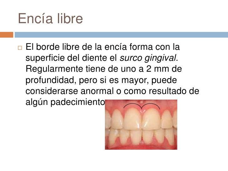 Lujoso Anatomía De Los Dientes Y Las Encías Colección - Anatomía de ...