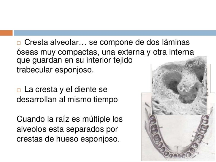 Anatomia dental cap 3