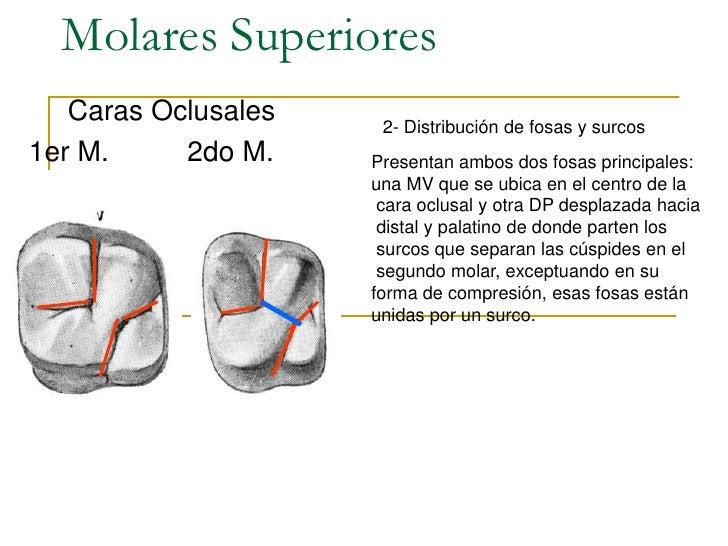 Contemporáneo Oclusal Del Diente Anatomía Componente - Anatomía de ...