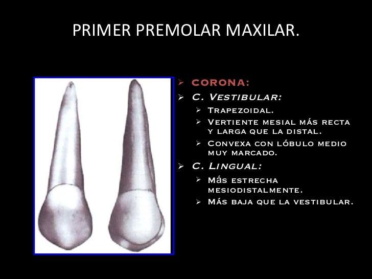 Dorable Anatomía Molar Primera Maxilar Ornamento - Anatomía de Las ...