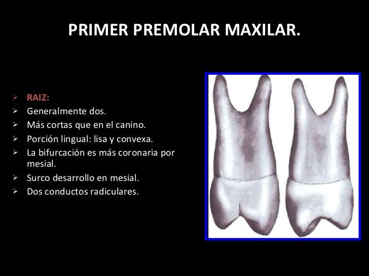 Anatomia dentaria permanentes 1