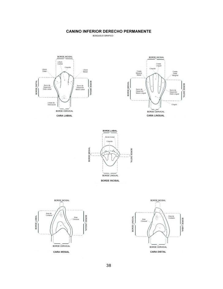 Lujo Gráfico De La Anatomía Canino Festooning - Anatomía de Las ...