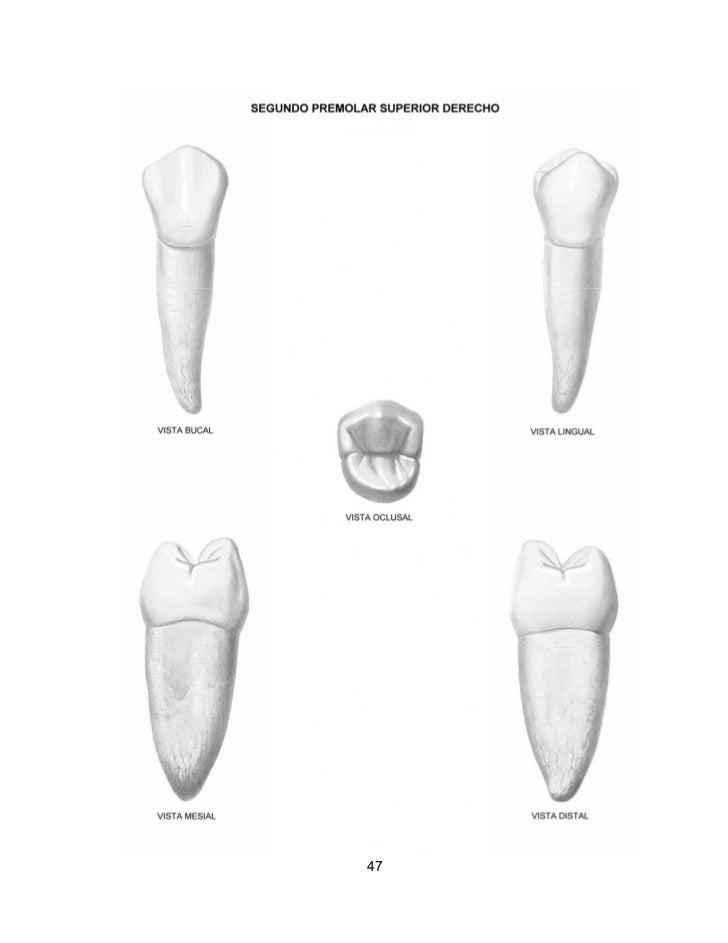 Excepcional Anatomía Molar Mandibular Viñeta - Imágenes de Anatomía ...