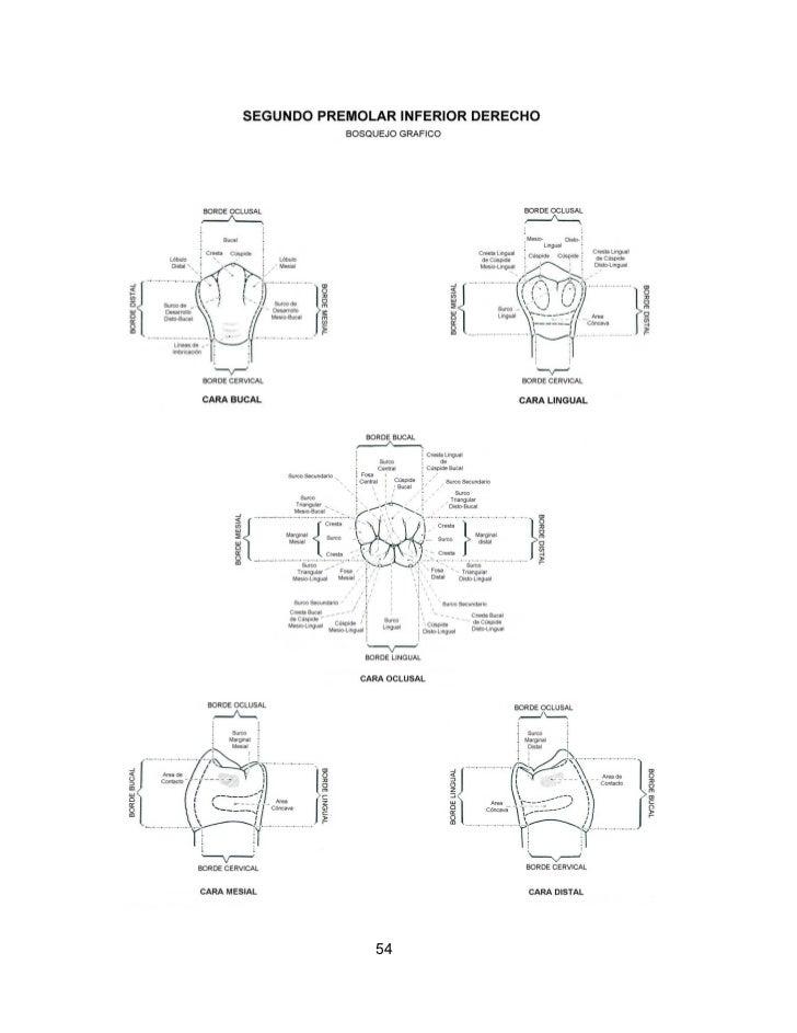 Perfecto Gráfico De La Anatomía Dental Imagen - Anatomía de Las ...