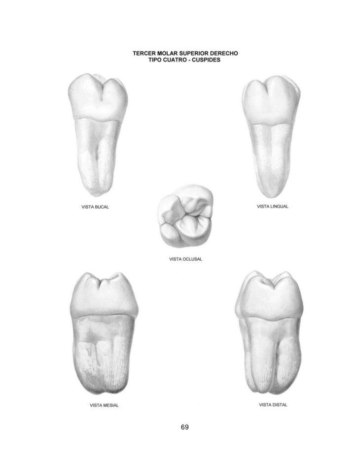 Magnífico Anatomía Oclusal Molar Composición - Imágenes de Anatomía ...