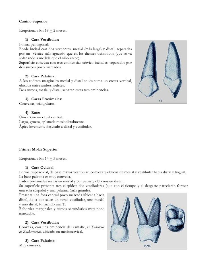Anatomia dentaria uchile