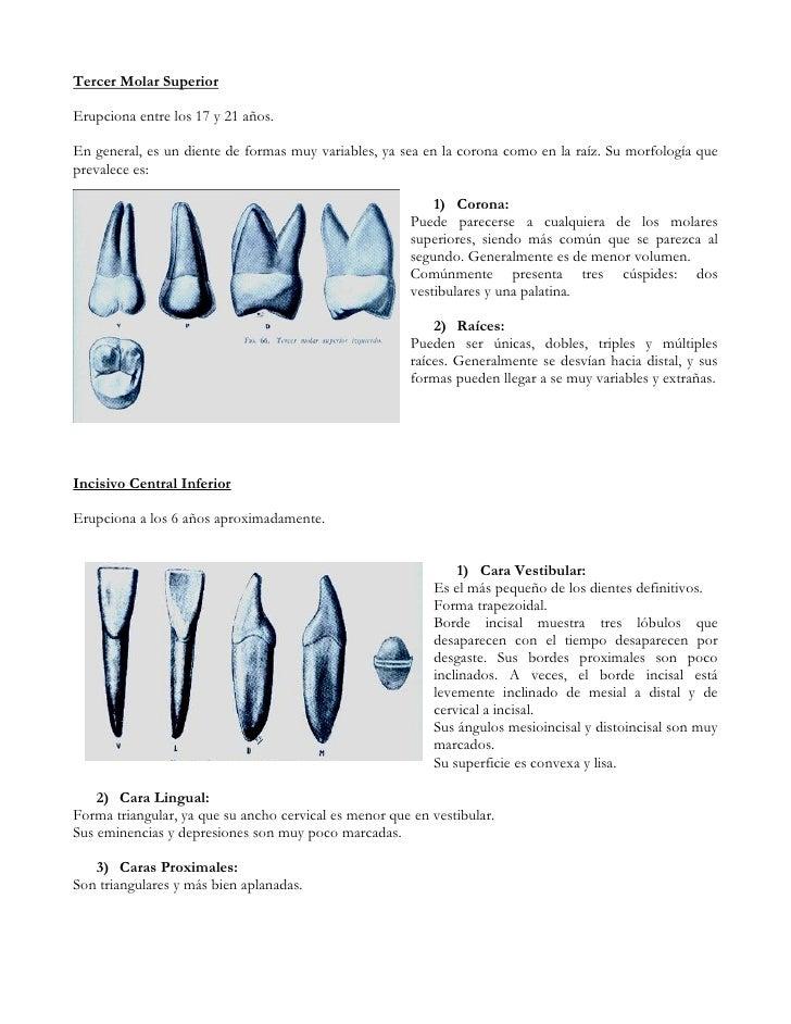 Moderno Anatomía Del Diente Molar Componente - Imágenes de Anatomía ...