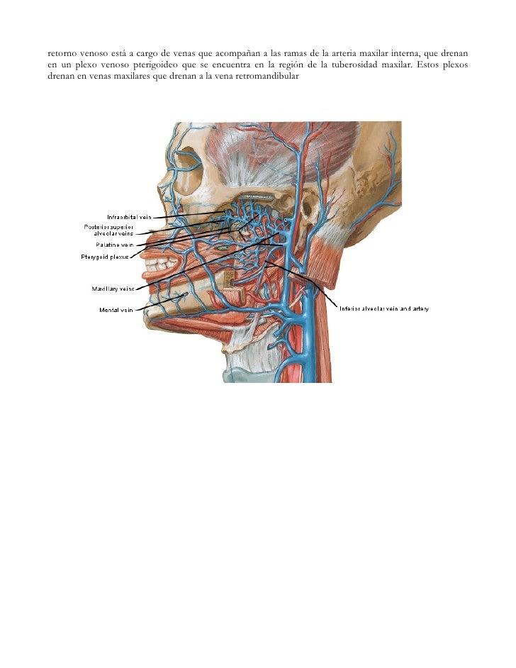 Bonito Anatomía Tuberosidad Del Maxilar Componente - Anatomía de Las ...