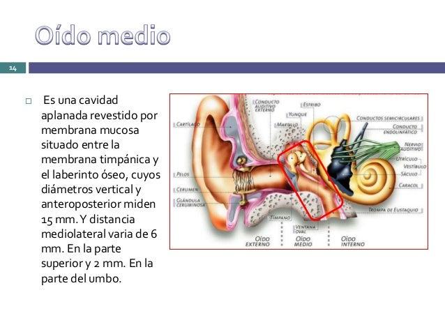 Anatomia de oido externo medio e interno