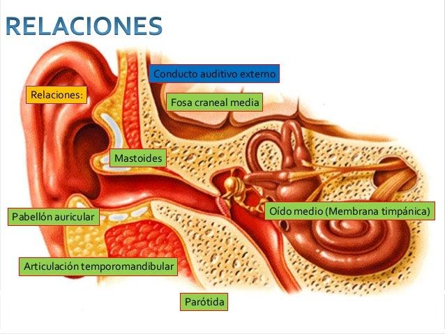 Anatomia de oido externo, medio e interno