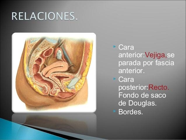 Anatomia de organos genitales de la mujer