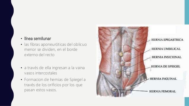 Anatomia de pared abdominal CIRUGIA II