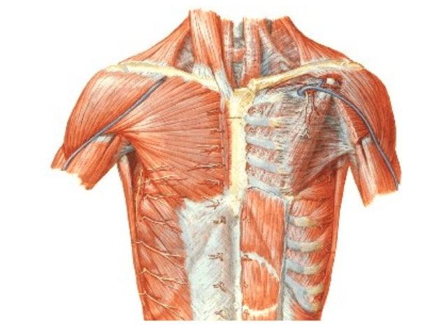 Anatomia de pared toracica