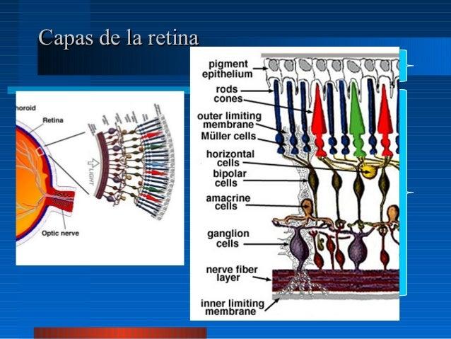 Anatomia de retina