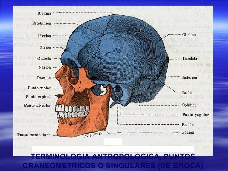 Anatomia descriptiva de los huesos del craneo