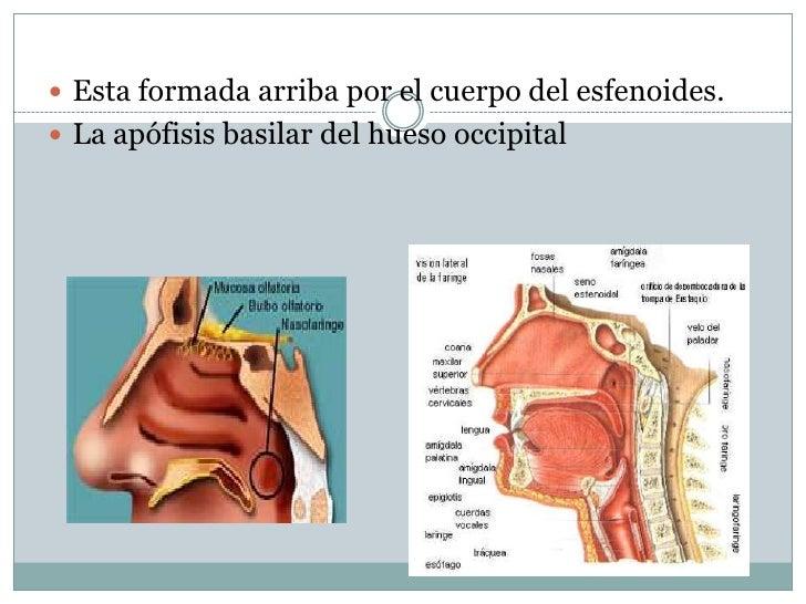 Anatomia de senos paranasales